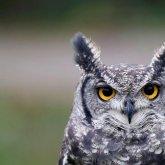 Owl Polar
